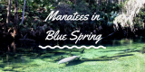 A Florida must-do: Manatees in Blue Spring and DowntownDeLand